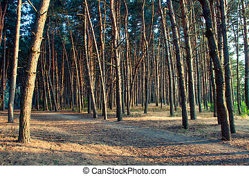 Pine forest in sunlight