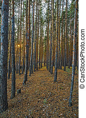 Pine Forest in the autumn