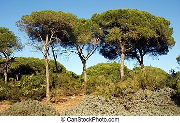 Pine Forest in the beach