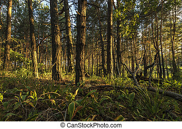 Pine forest in the rays of the setting sun.