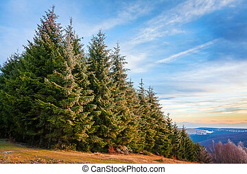 Pine forest in Transylvania