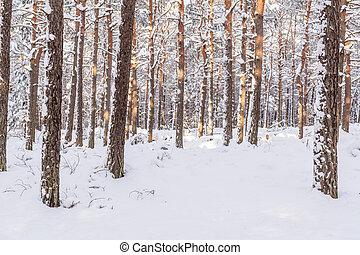 Pine forest in winter (Poland)