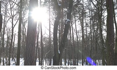 Pine forest in winter. Trees and bright sun.