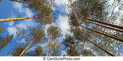 Pine Forest Looking Up to the Tree Crowns and Blue Sky. Bottom View of Tall Old Trees in Pinetree Forest.
