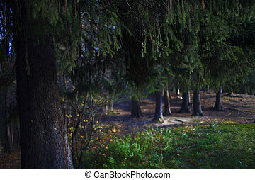 Pine forest, natural background. In the foreground pine branches in focus, image blur