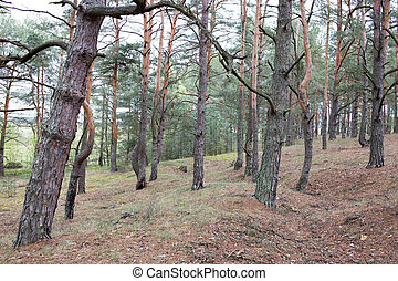 Pine forest of Volyn at spring. Remains of trenches of Great...