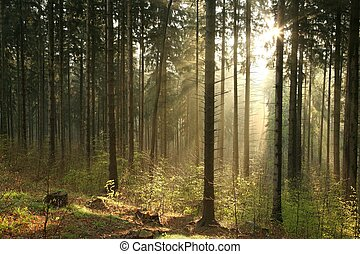 Pine forest on a foggy morning