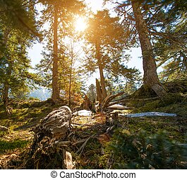 Pine forest on sunny day