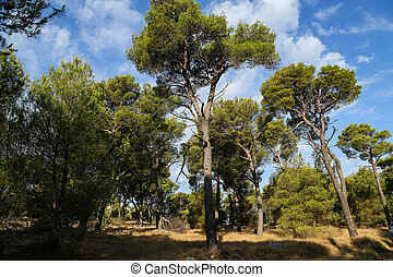Pine forest on the Adriatic coast in Croatia