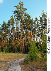 pine forest on the background of the sky with clouds