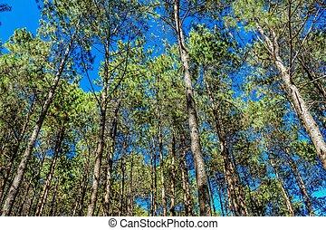 Pine forest  ,pang oung ,mae hong son ,thailand
