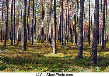 Pine Forest - Pine forest in sunlight. Photographed in ...