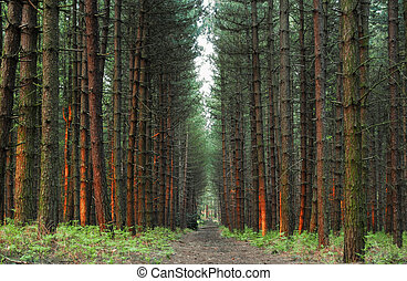 pine forest - pine
