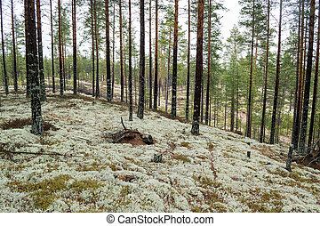 Pine forest planted on ice age sand dunes to stop them from...