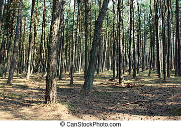 Pine forest - Sunny pine forest at Curonian Spit