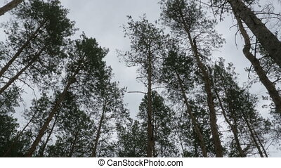 Pine forest. The tops of trees sway in the wind against the sky
