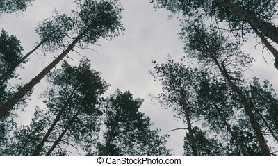 Pine forest. The tops of trees sway in the wind against the...