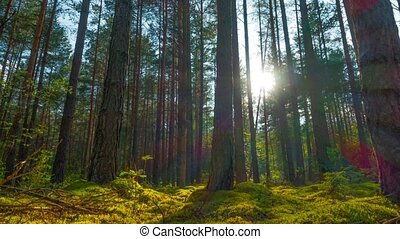 Pine forest, time-lapse