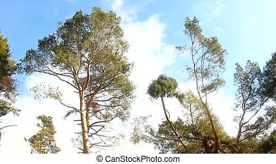 pine forest tree tops in the blue sky landscape nature