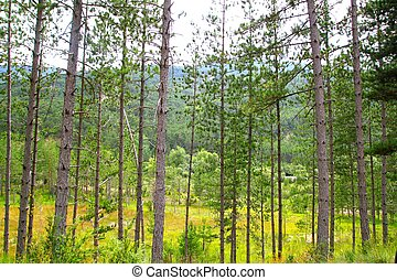 pine forest trees row landscape background