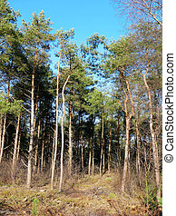 Pine forest trees with blue sky vertical