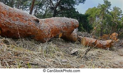 pine forest treetops in the blue sky landscape nature felling of timber logs