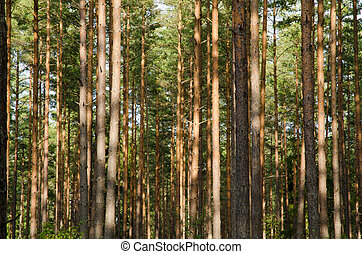 Pine forest trunks