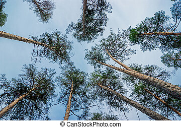 Pine forest view from bottom