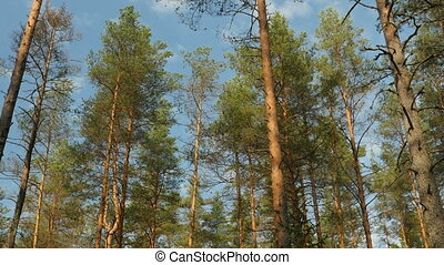 Pine forest view upwards - evergreen Pine forest view from...