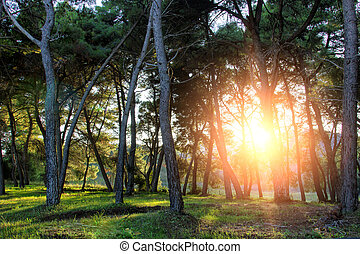 pine forest with sunset