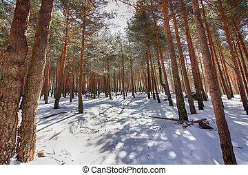 pine forests in the mountains with lots of snow