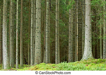 Pine forrest - Old swedish pine forrest at summer time