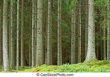 Pine forrest - Old swedish pine forrest at summer time