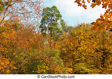 Pine framed with branches of deciduous trees with autumn leaves