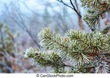 Pine green branches in hoarfrost in winter forst