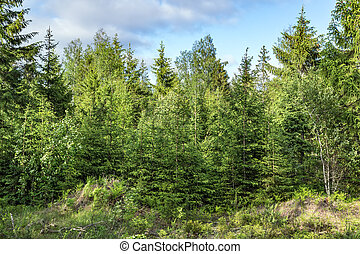 Pine green trees forest nature landscape