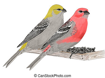 Pine Grosbeak - Pinicola enucleator - pair on feeder