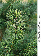 Pine iced tree - Background from pine iced tree branches...