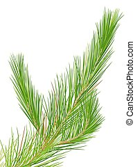 Pine - Illustration of a close up pine leaves