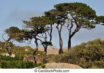 Pine in Brittany