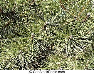Pine leaf texture backround - Beautiful pine leaf texture...