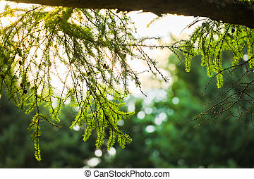 pine leaves green trees in the afternoon : natural background