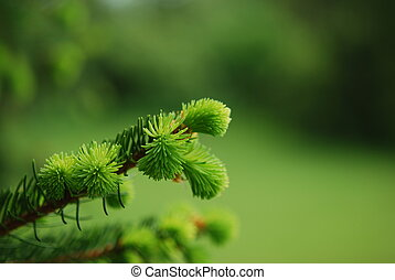 Tip of limb of a pine tree.