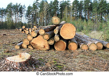 Pine logs in the forest