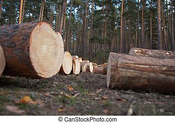 Pine Logs - Several cut pine logs.
