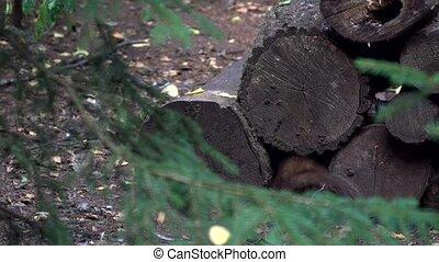 pine marten - in forest