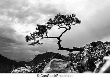 pine, most famous tree in Pieniny Mountains, Poland, black ...