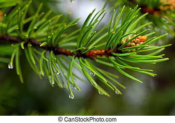 Pine needles after a rain