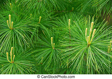 Background of young new pine needles in the spring