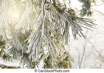 Pine needles covered by snow